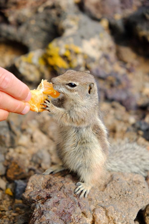 African ground squirrel eating from the hand. African ground squirrel eating a piece of tangering from the hand. Location the Canary Island Fuerteventura, Spain stock photo
