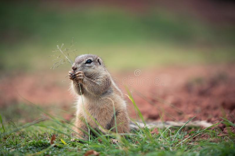 African Ground Squirrel Xerus Sciuridae sitting in an upright position and nibbling on a strand of grass, South Africa royalty free stock photography