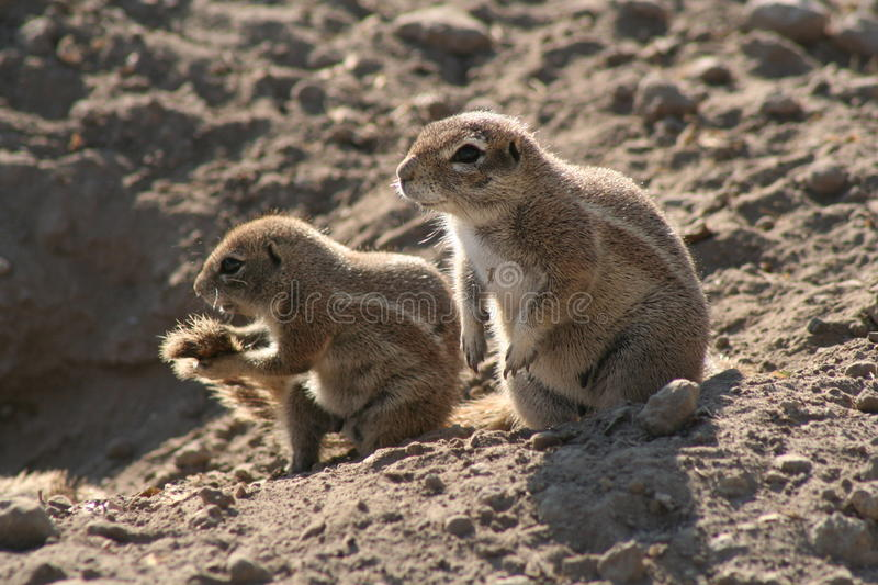 African ground squirrels stock images