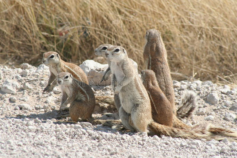 African ground squirrels stock image