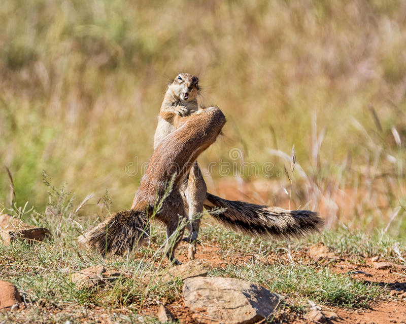 African Ground Squirrels Playing. A pair of young African Ground Squirrels playing in Southern African savanna stock photography