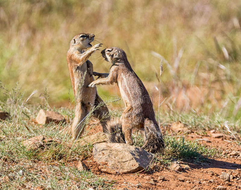 African Ground Squirrels Playing. A pair of young African Ground Squirrels playing in Southern African savanna royalty free stock images