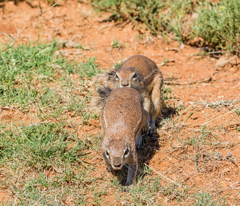 African Ground Squirrels Playing. A pair of young African Ground Squirrels playing in Southern African savanna stock images