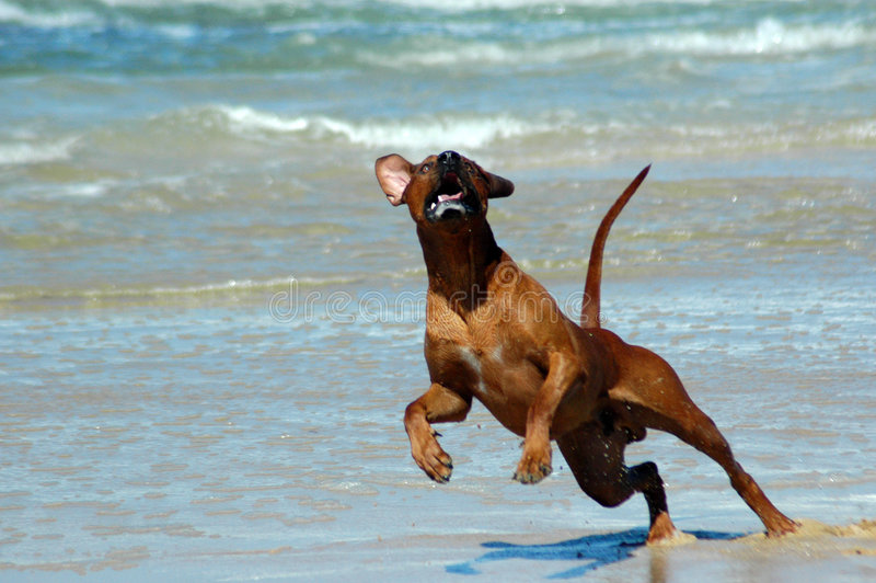 African happy dog stock image