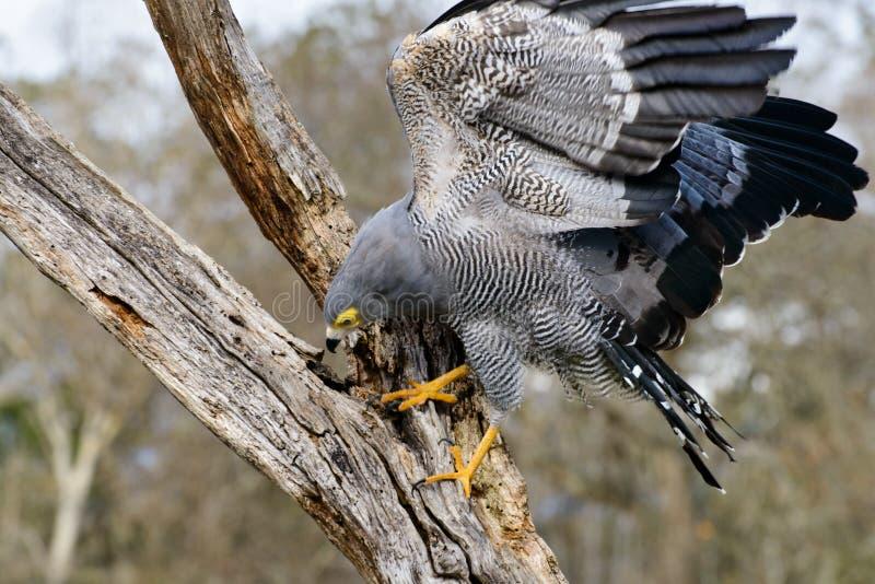 African Harrier hawk stock images