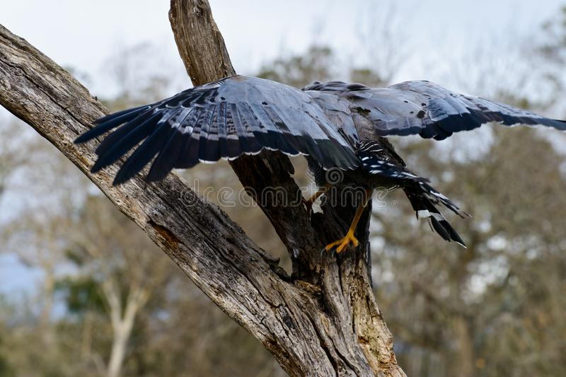 African Harrier hawk stock photos