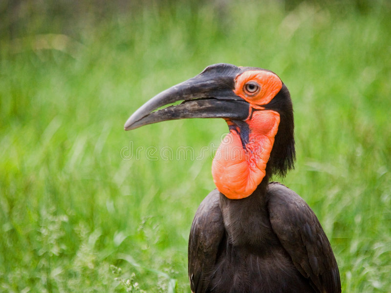 African Hornbill stock images