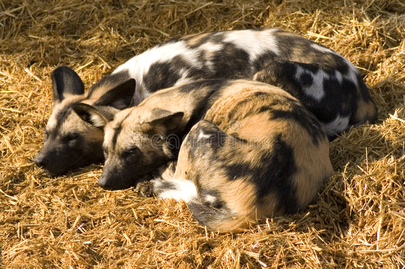 African Hunting Dogs. Two African hunting dogs cuddled together in the sun stock photos