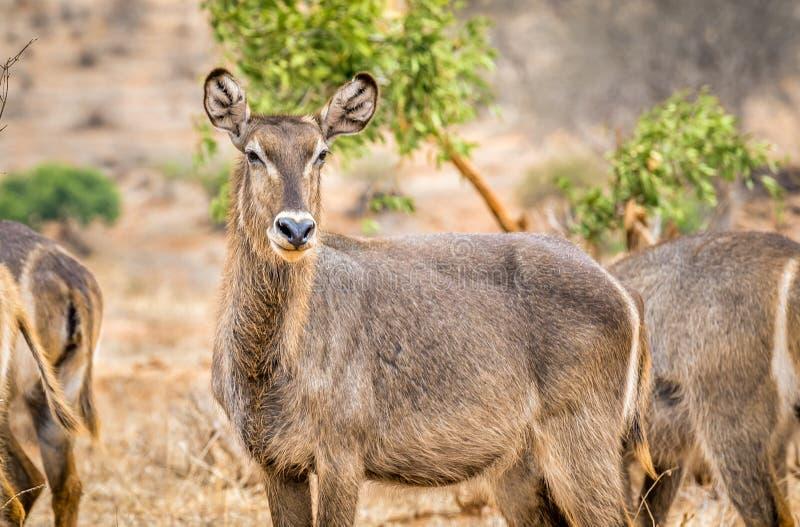 African impala in Kenya stock image