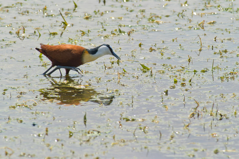 Download An African Jacana stock photo. Image of exaggerated, black - 16896108