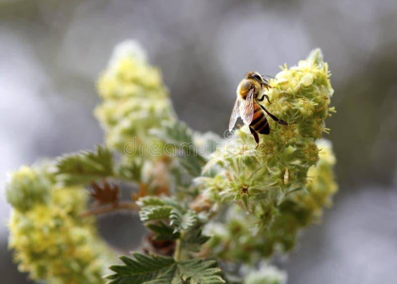 African (killer) honey bee royalty free stock photos