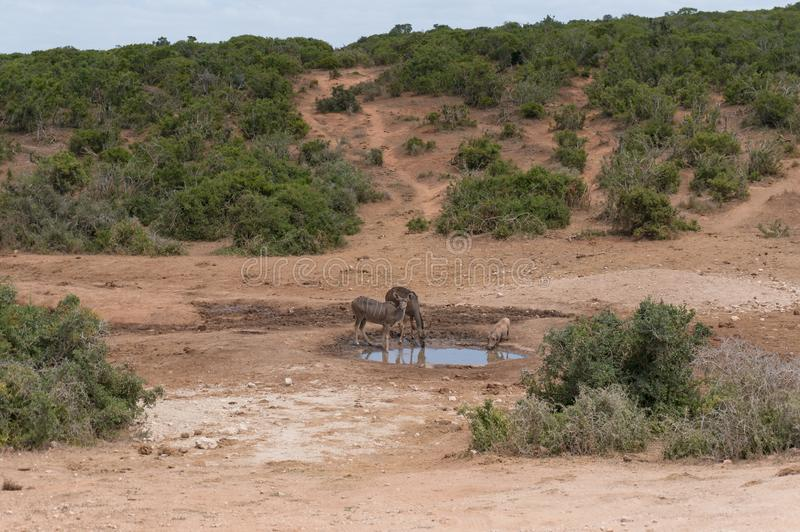 African kudu antelopes and warthog near the waterhole drinking on hot day stock image
