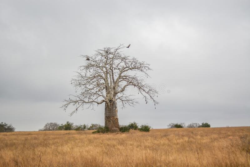 African landscape in Angola, single huge baobab royalty free stock image