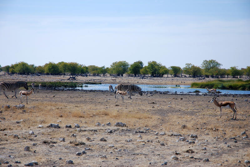 African landscape with animals. Animals at a waterhole in african savanna stock images