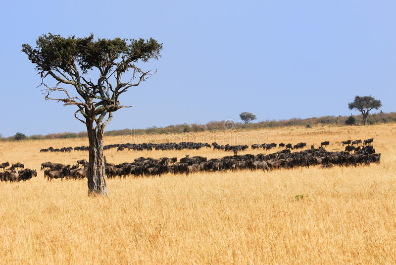 Download African Landscape With Antelopes Gnu Stock Photo - Image: 18277798