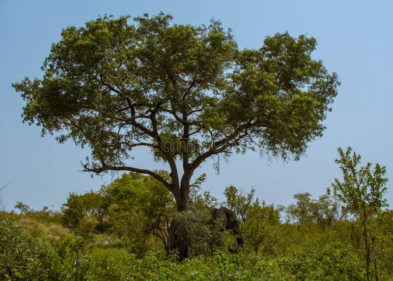 African landscape with elephants in a woodland stock image