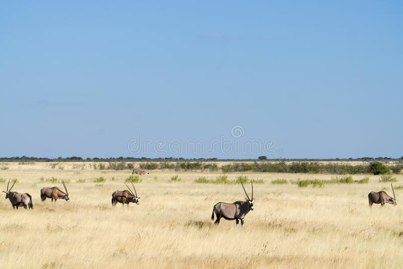 African landscape of golden grassland with oryx and zebra stock photo