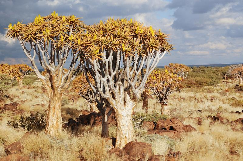 African landscape of quiver tree forest, kokerbooms in Namibia, nature of Africa stock image