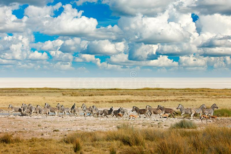 African landscape with wild animals, clouds on the sky. Herds of zebra near the water hole in the desert. Zebra and storm evening royalty free stock photos