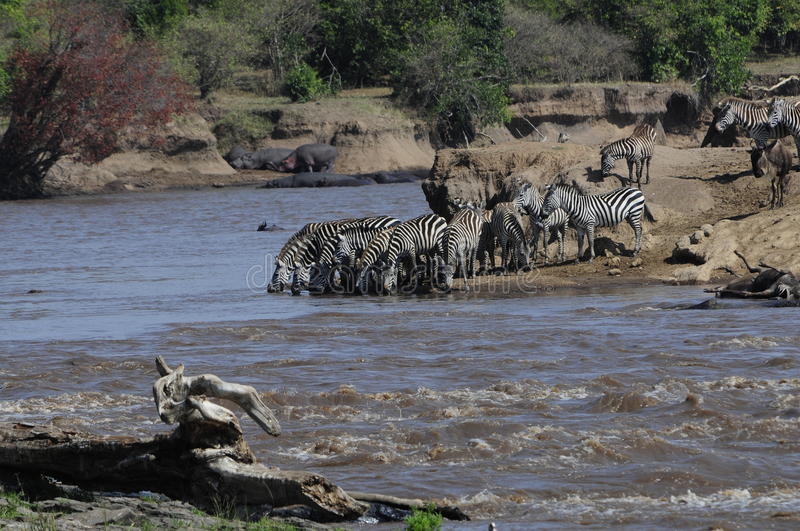 African Landscape. Zebras drinking out of the river royalty free stock photo