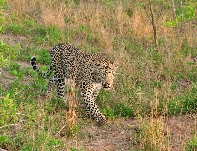 Download African leopard stock image. Image of reserve, sand, predator - 19531675