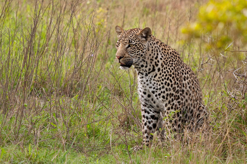 African leopard. Adult male leopard sitting in green grass in Sabi Sand nature reserve, South Africa royalty free stock images