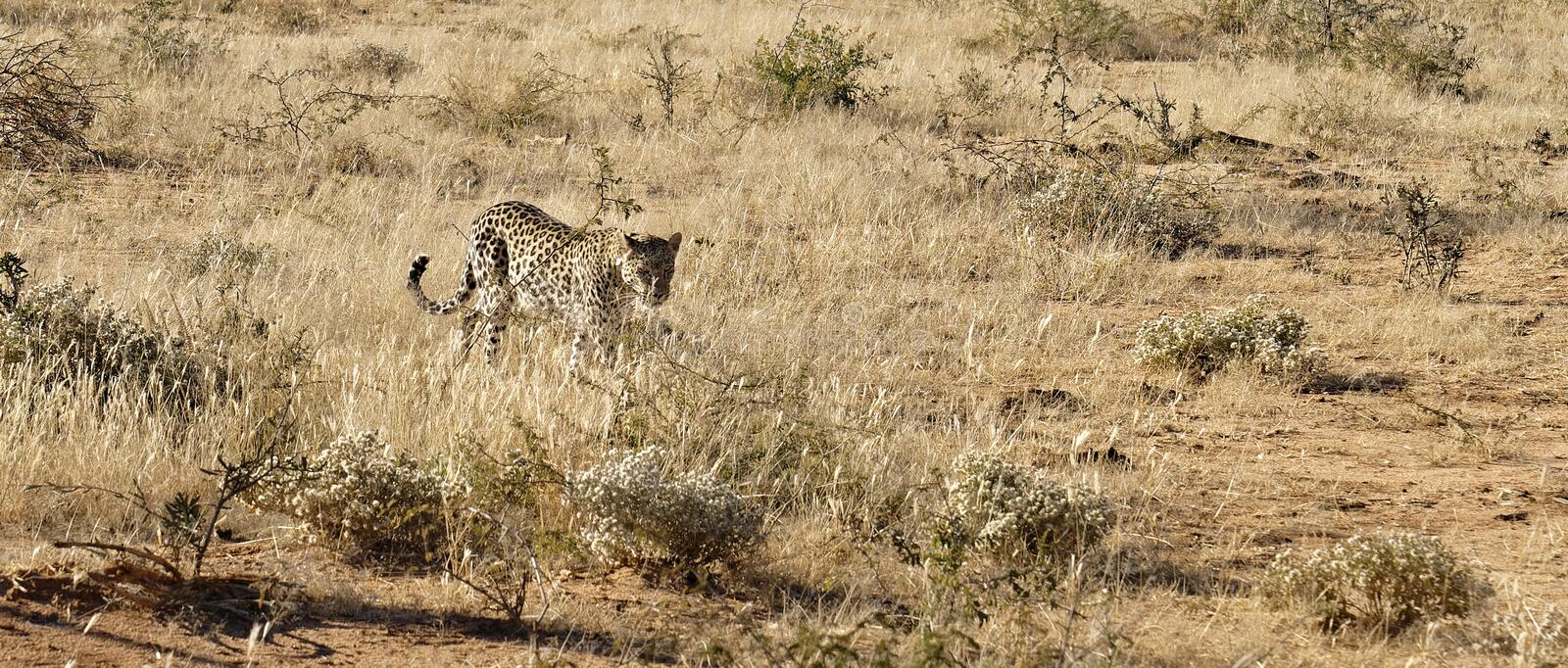 African leopard approaches through dry grass in bright early morning sunlight at Okonjima Nature Reserve, Namibia. Elusive and secretive spotted African leopard stock images