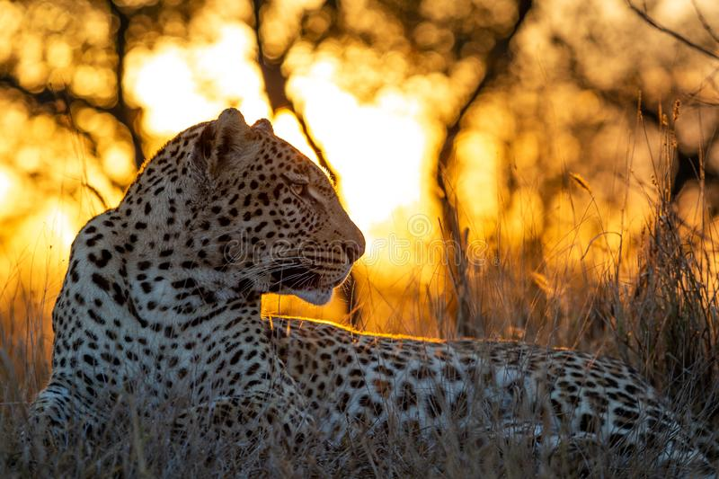 African Leopard at dusk royalty free stock photo
