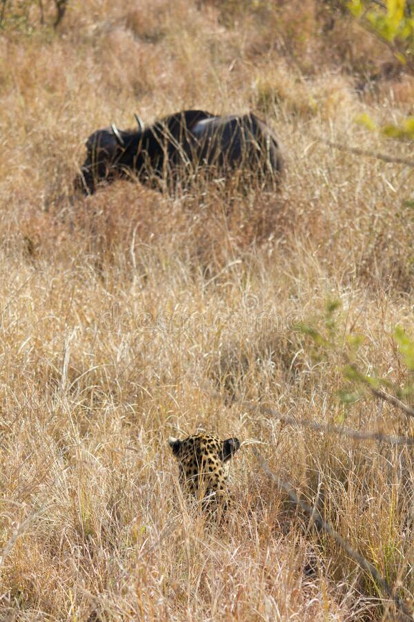 Free African Leopard Looking At Its Dinner Royalty Free Stock Photography - 182549537