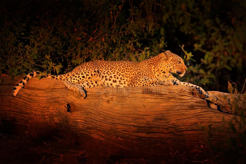African Leopard sunset, Panthera pardus shortidgei, Hwange National Park, Zimbabwe. Wild cat hidden in nice forest tree trunk. Big royalty free stock photos