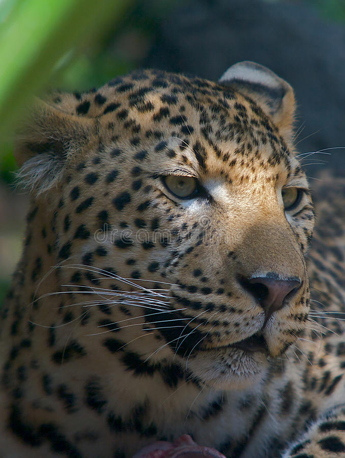 Download African Leopard Portrait stock image. Image of wild, meat - 12183799