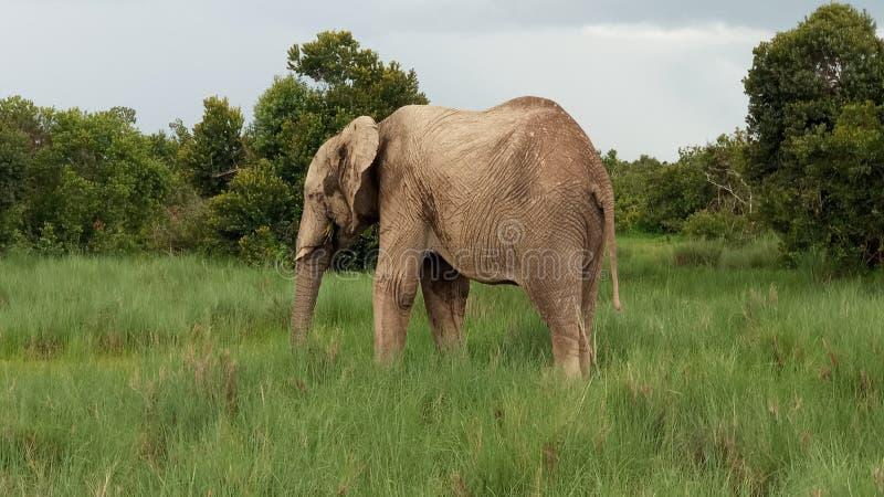 African lexodanta stock photo