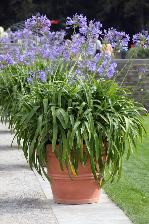 African lilly - agapanthus. African lilly bulbs (agapanthus) in to the big ornamental pots stock images