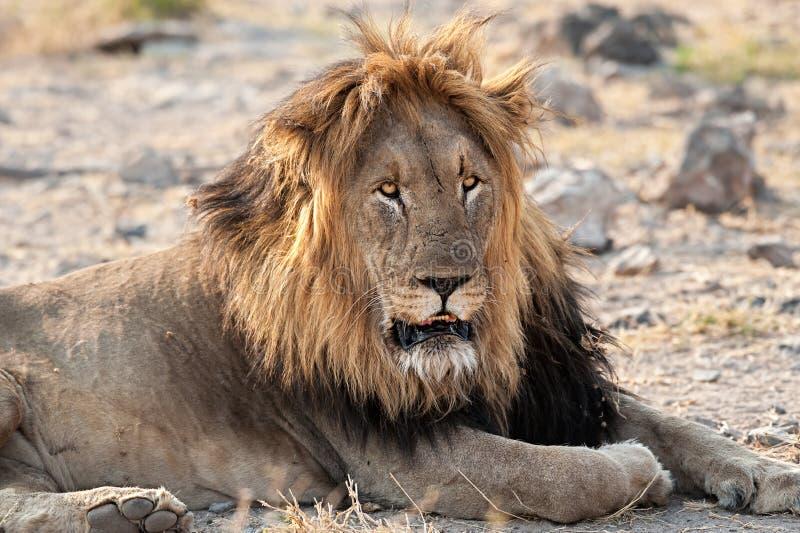 african lion στοκ εικόνες