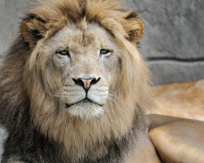 Download African lion stock photo. Image of horizontal, viewing - 16098290