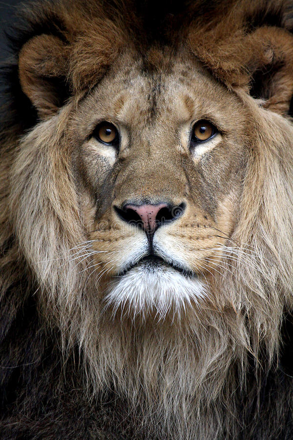 Free African Lion Stock Image - 17026121