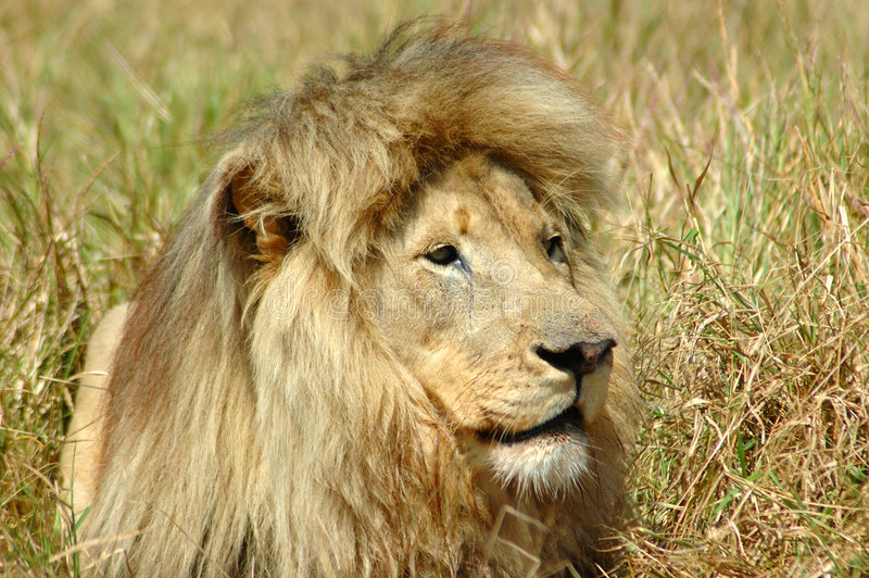 Download African lion stock photo. Image of lazy, mammals, faces - 1773868