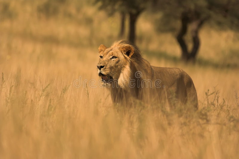 Download African Lion stock image. Image of laying, close, carnivore - 1969619