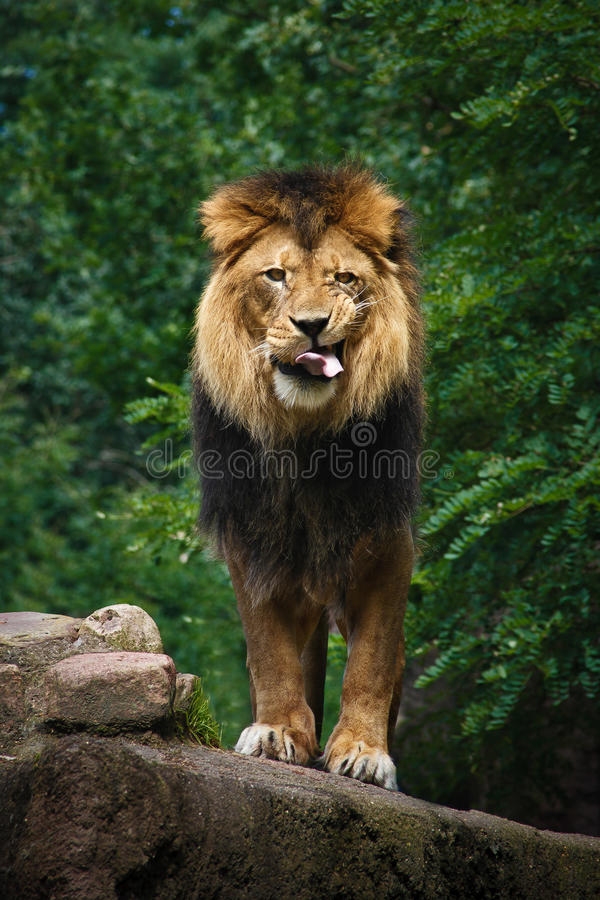 African Lion. A male African Lion looking for dinner royalty free stock photography