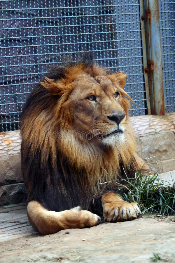 Download African lion stock image. Image of stare, beast, mammal - 24699815