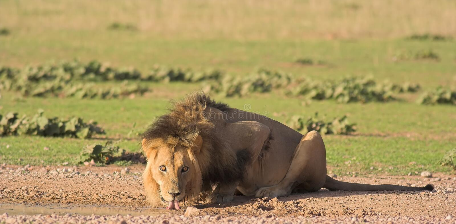 Download African Lion stock image. Image of animal, male, behavior - 3467645