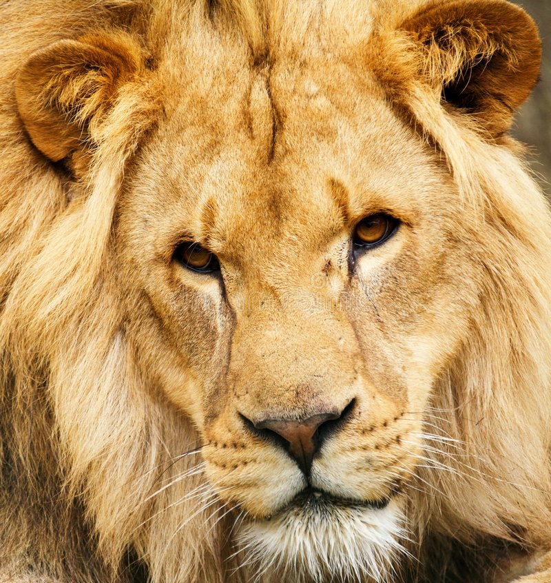 Download African Lion stock image. Image of dangerous, sand, power - 4461145