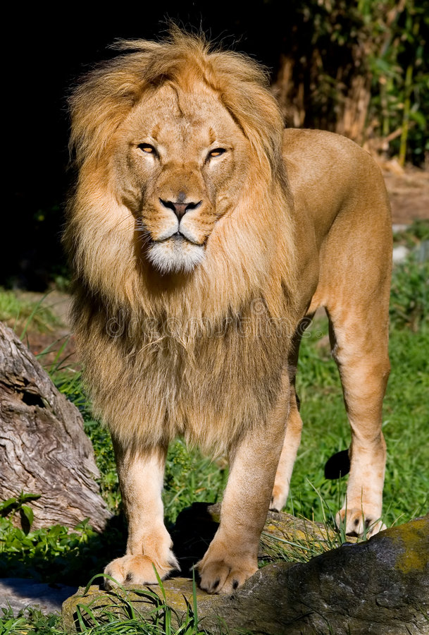 Free African Lion Royalty Free Stock Photos - 4581318