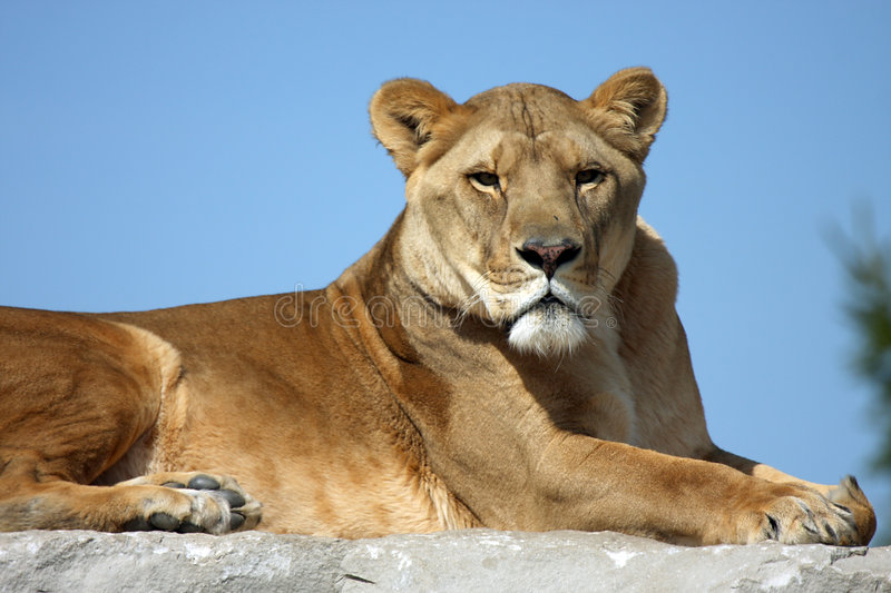 Download African Lion stock image. Image of whiskers, strength - 5106183