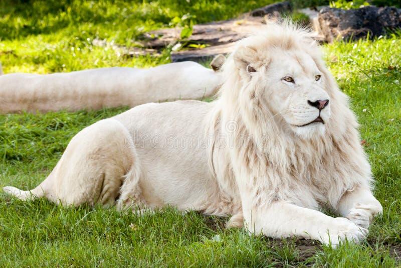 african lion 库存图片