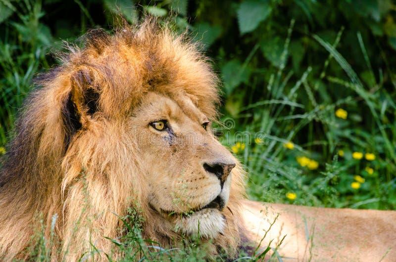 African Lion Free Public Domain Cc0 Image