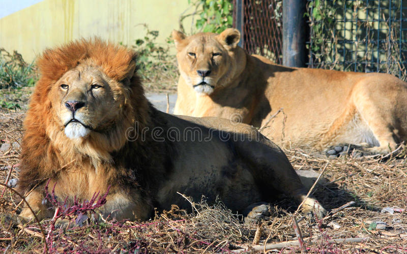 African lion and african lioness stock images