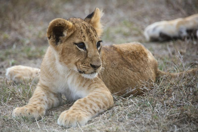 African lion cub lying down stock photo