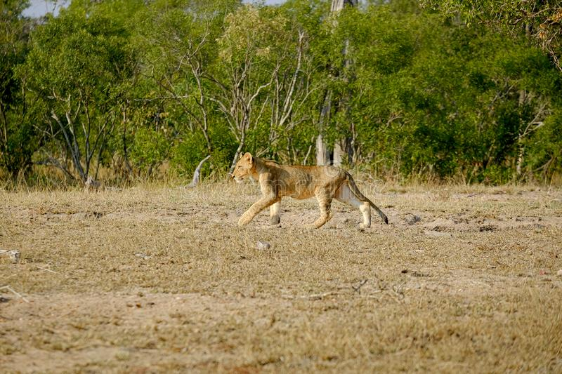 African lion cub walking alone in the wild royalty free stock images