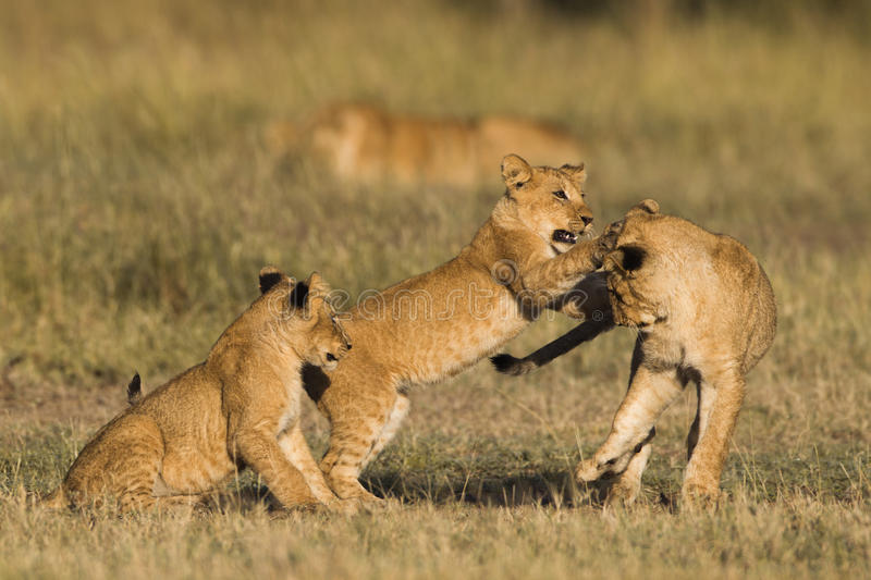 African lion cubs royalty free stock photography
